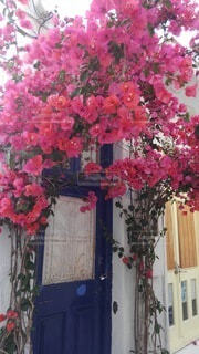 花,夏,屋外,ピンク,白,窓,ギリシャ,ブーゲンビリア,草木