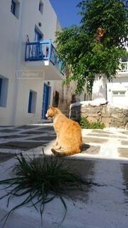 猫,夏,動物,屋外,白,オレンジ,樹木,背中,石畳,座る,ギリシャ
