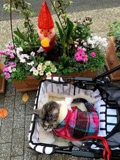 猫,花,冬,動物,屋外,散歩,クリスマス,プランター,草木