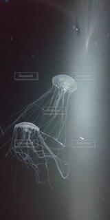 動物,水族館,プランクトン,クラ ゲ,刺胞動物,生物発光,海洋無脊椎動物