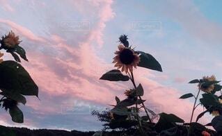空,花,屋外,ひまわり,雲,草木,空 花 ひまわり