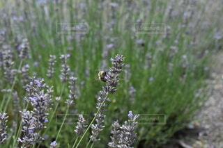 花,屋外,ラベンダー,草木,広葉