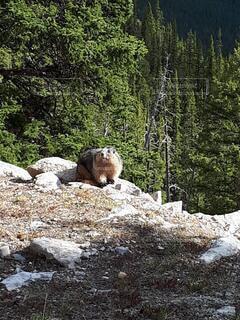 動物,野生動物,屋外,海外,大自然,樹木,旅行,ハイキング,カナダ,国立公園,カナディアンロッキー,バンフ,ワイルドライフ,北米,マーモット