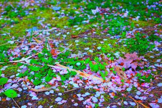 桜の写真・画像素材[458326]