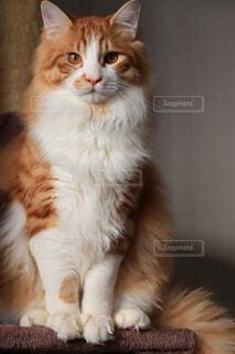 見つめる猫の写真・画像素材[4163710]