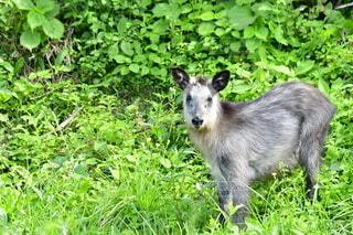 子ども,夏,動物,野生動物,屋外,緑,かわいい,景色,草,赤ちゃん,哺乳類,Nikon,草木,野生,カモシカ