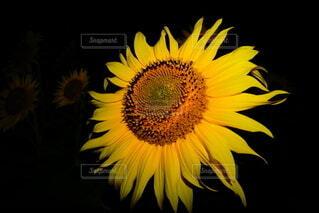 花,夏,夜,ひまわり,黄色,向日葵