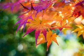花,秋,紅葉,京都,葉,樹木,草木,カエデ