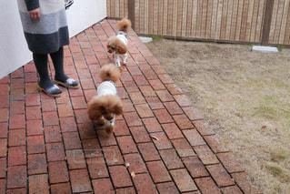 レンガ壁の横の歩道に立っている犬の写真・画像素材[1198399]
