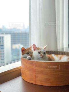 窓の前に座ってオレンジと白猫の写真・画像素材[1256785]