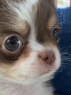 犬,動物,チワワ,屋内,白,かわいい,茶色,赤ちゃん,子犬,仔犬,目,まったり,見つめる,甘えん坊,うるうる,あかちゃん,愛おしい,ちわわ