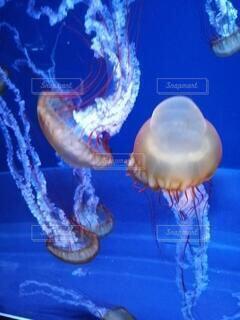 自然,空,動物,雲,青,水族館,クラ ゲ,腔腸動物,生物発光,海洋無脊椎動物,海洋生物学