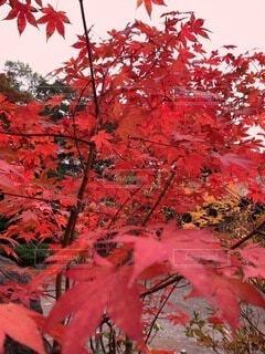 花,秋,赤,葉,樹木,落葉,草木,カエデ,カエデの葉