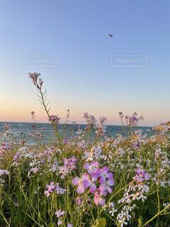 自然,海,空,花,夕日,屋外,ピンク,夕焼け,夕暮れ,紫,可愛い,韓国,草木