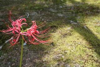 自然,花,屋外,京都,緑,赤い花,草,地面,草木,1輪,律