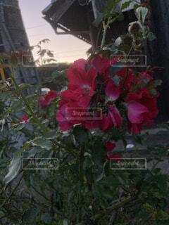 花,庭,よる,赤い,草木,ばら,ガーデン,フローラ,かえり
