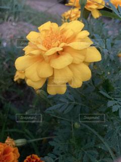 花,黄色,バラ,薔薇,よる,帰り道,草木,くさ,フローラ