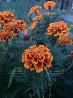 花,夜,夕方,オレンジ,草,はな,帰り道,草木