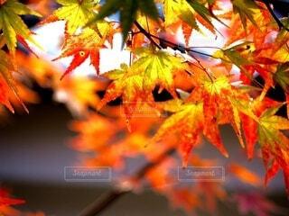 秋,葉,樹木,落葉,草木,メープル,カエデ,カエデの葉,シルバーメープル