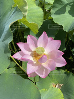 自然,公園,花,ピンク,植物,葉っぱ,水辺,蓮,天然,ハナ,ハス