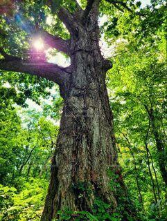 自然,森林,屋外,大木,樹木,シンボル,草木,半月湖,明治時代から