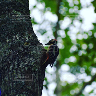 動物,森林,鳥,屋外,樹木,キツツキ