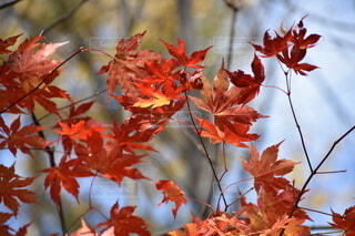 秋,葉,樹木,落葉,草木,カエデ,カエデの葉