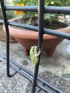庭,屋外,緑,小さい,柵,地面,アマガエル