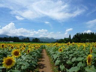 自然,風景,空,屋外,ひまわり,雲,田舎,向日葵,道,ひまわり畑,夏空,ヒマワリ