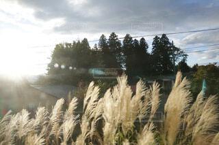 自然,風景,空,屋外,雲,田舎,草,樹木,杉,草木,すすき