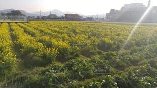 花,屋外,菜の花,草,草木
