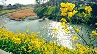 自然,風景,花,黄色,菜の花,草木
