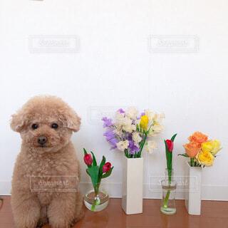 花,動物,花瓶,バラ,トイプードル