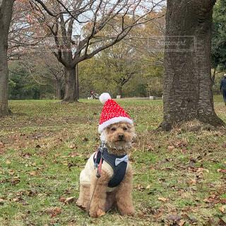 犬,公園,屋外,草,樹木,サンタさん