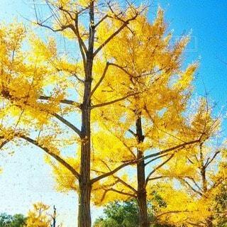 空,公園,秋,屋外,青,散歩,黄色,葉,樹木,草木,黄金,カエデ