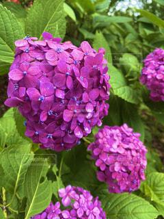 花,ピンク,草木,アジサイ,ガーデン,フローラ