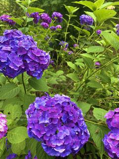 花,紫,草木,アジサイ,ガーデン,フローラ
