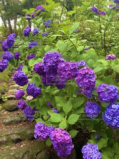花,屋外,紫,草木,アジサイ,ガーデン,フローラ