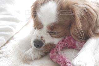犬の写真・画像素材[242014]