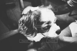 カメラを見て犬の写真・画像素材[1002484]