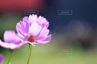 花,秋,ピンク,コスモス,花びら,秋桜,秋の花,草木