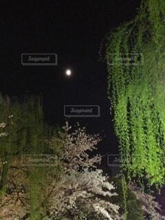自然,風景,空,春,桜,屋外,樹木,月,moon,柳
