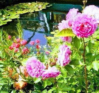 池の畔の薔薇の写真・画像素材[4911849]