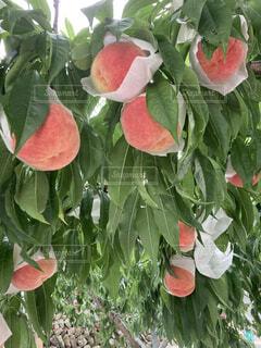 食べ物,花,食事,ピンク,赤,フード,果物,もも,桃,草木,飲食,ガーデン,フローラ