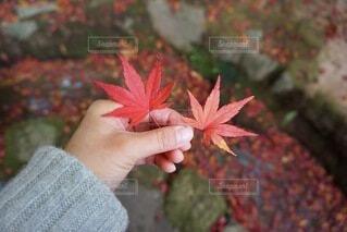 真っ赤な紅葉の写真・画像素材[4859166]