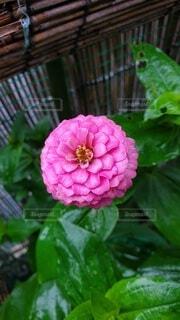 ジニアの花の写真・画像素材[4875193]