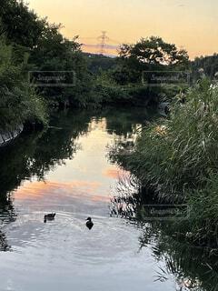 夕日に向かって仲良く泳ぐ鳥の写真・画像素材[4931068]