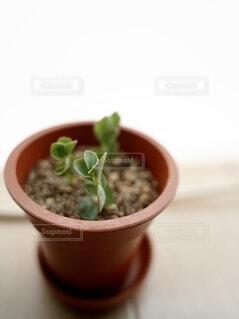 挿し穂したばかりの多肉植物の写真・画像素材[4909904]