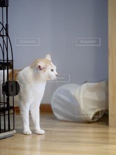 ミルクティー色の柄を持つ猫がケージから、上半身出たところの写真・画像素材[4923777]