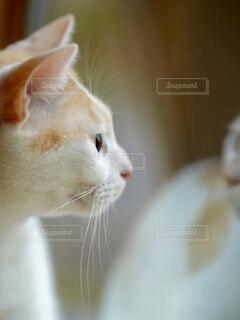 ミルクティー色の猫が窓の外を見つめるの写真・画像素材[4923775]